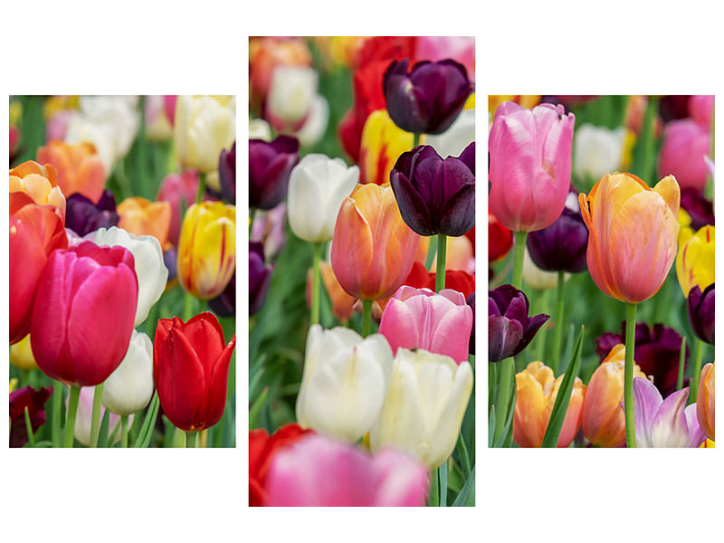 Modern 3 Piece Canvas Print The colors of the tulips